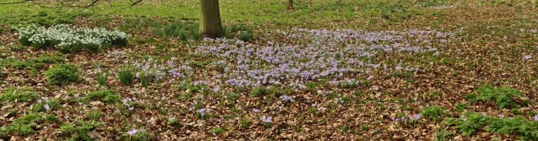 crocus panorama